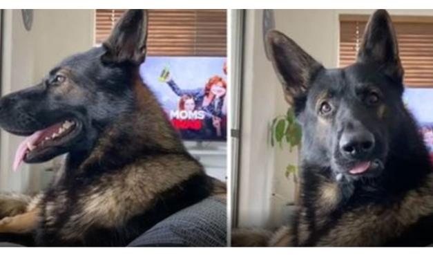 """VIDEO: Urnebesna reakcija """"umirovljenog"""" psa tragača na spomen kokaina"""
