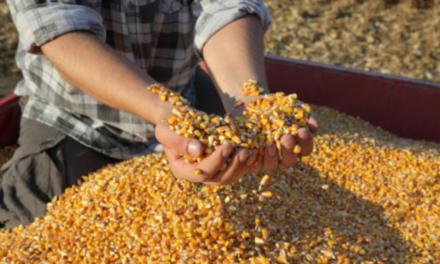 Cijene žitarica u BiH rastu iz dana u dan, očekuje se i daljnji rast