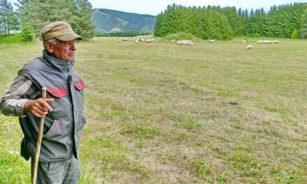 Ilija Čičak na Kupresu sa svojih 75 godina čuva svojih 300 ovaca
