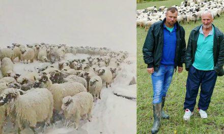 Video: Oca i sina snijeg sa Vlašića natjerao na daleki put sa 350 ovaca