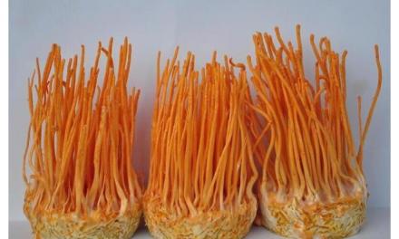 Lijek dobijen iz himalajske gljivice ubija ćelije raka 40 posto efikasnije